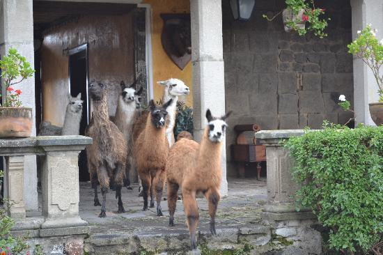 Hacienda San Agustin De Callo: llamas