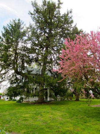 The Waterloo Inn: the front. the trees in bloom.