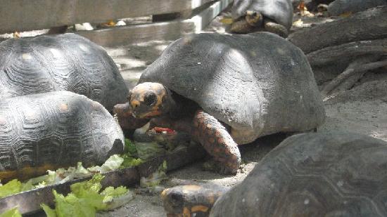 St. Maarten Zoo: Les Tortues sont proche.