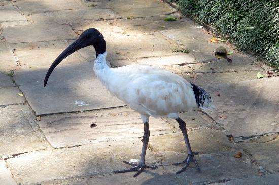Most Common Bird Picture Of Hyde Park Sydney Tripadvisor