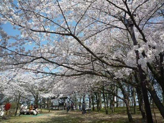 Toyanogata Park: 本当にきれいな桜でした。