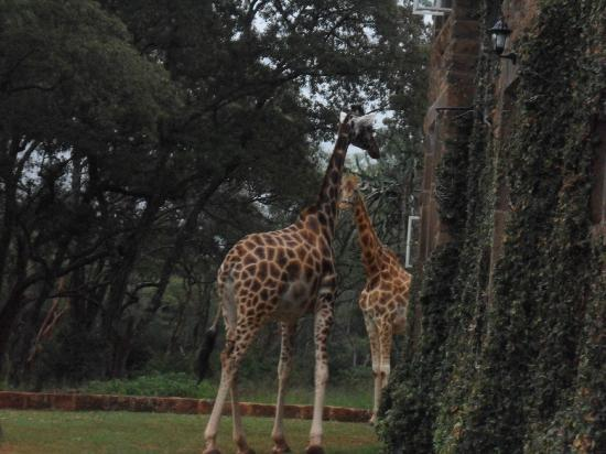 Giraffe Manor: View from where car parked - my first picture in Kenya!