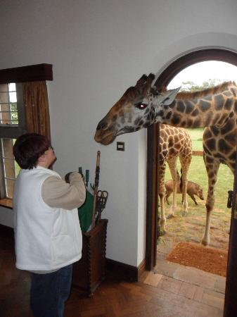 Giraffe Manor: I am feeding giraffes after being there only 15 minutes - Amazing
