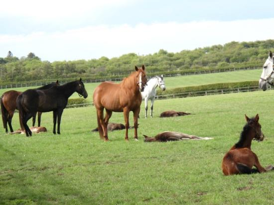 Newmarket, UK : Mares with their foals