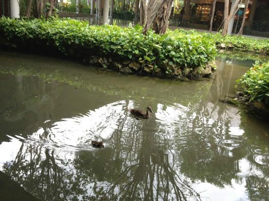 Iberostar Dominicana Hotel: patitos del estanque