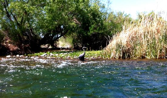 Saguaro Lake Guest Ranch: My buddy the heron