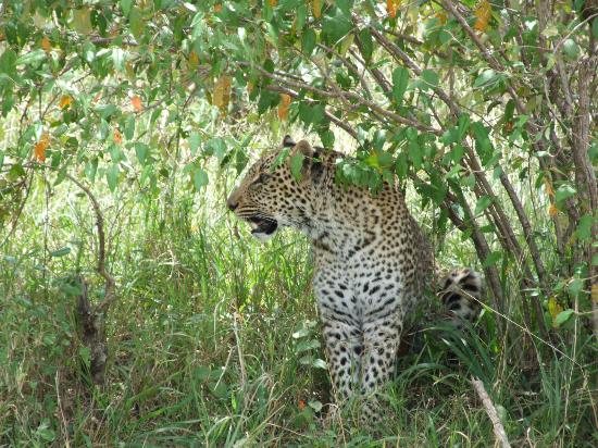 Tipilikwani Mara Camp - Masai Mara: Leopard in the bush