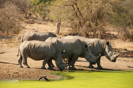 Royal Malewane: White rhinos coming for a drink