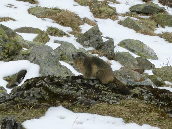 Hotel Les Templiers : Look A Marmotte!