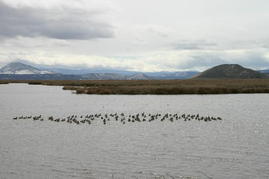 Tule Lake National Wildlife Refuge: Greater White-fronted Geese