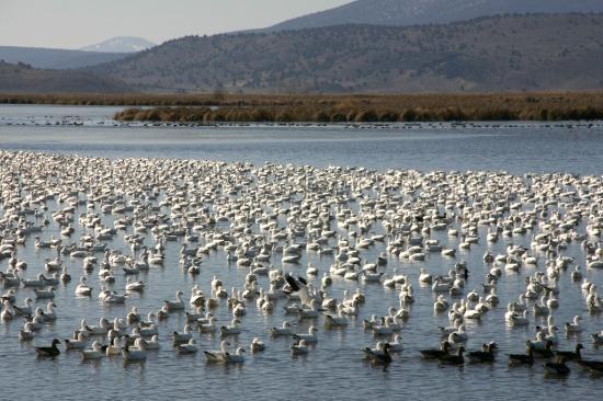 Tule Lake National Wildlife Refuge: Snow Geese