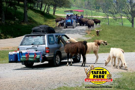 Natural Bridge, Βιρτζίνια: Virginia Safari Park - Virginia's Only Drive-Thru Zoo!