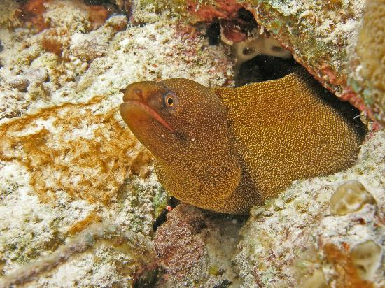 Kralendijk, Bonaire: Goldentail moray