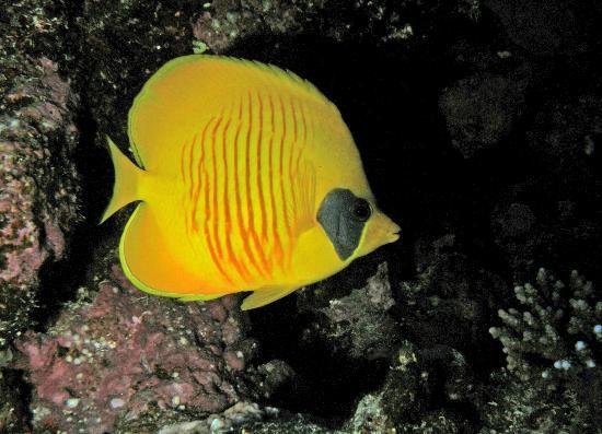 Elphinstone Reef : Masked butterflyfish