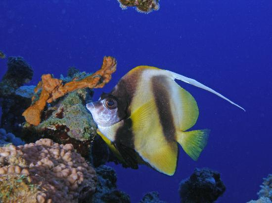 Elphinstone Reef : Red Sea Bannerfish