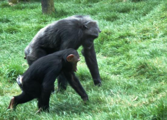 Monkey World: Chimps