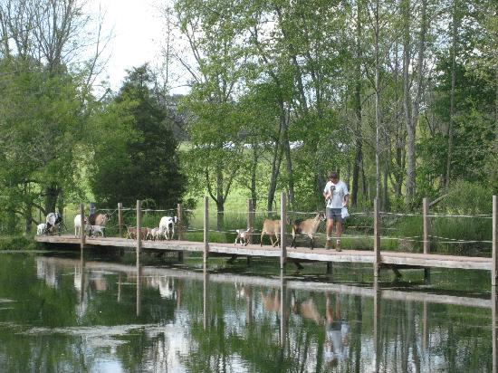 Vanquility Acres Inn: John and goats crossing the bridge!