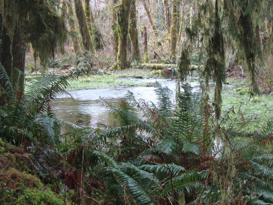Quinault Rain Forest: Wetlands in the forest