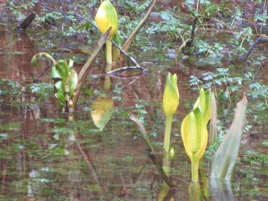 Quinault Rain Forest: Spring Skunk Cabbage