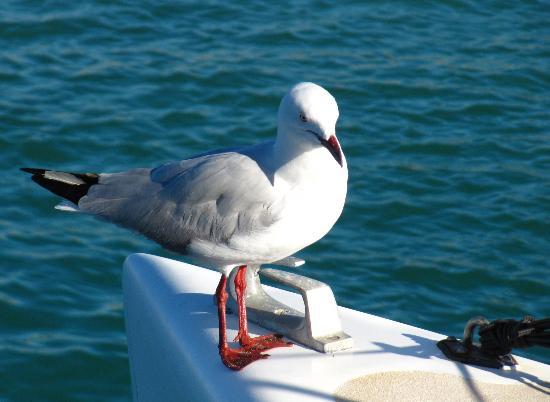 Shark Bay : gabbiano sulla barca