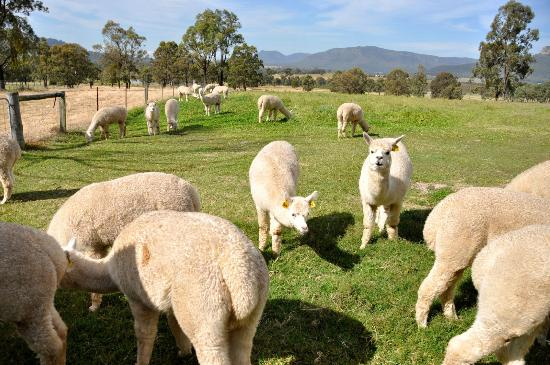 Starline Alpacas Farmstay Resort: Curious Alpacas
