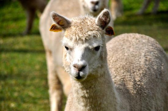 สตาร์ไลน์ อัลพาคาส ฟาร์มสเตย์ รีสอร์ท: Curious Alpacas