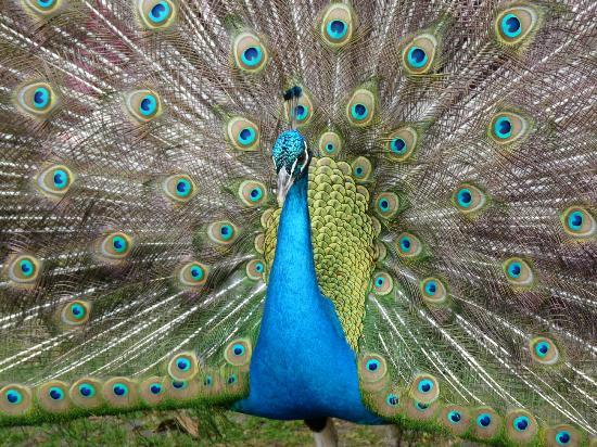 Monte Palace Tropical Garden : Peacock in the garden