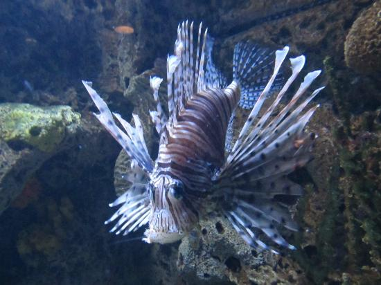 Tiger fish picture of downtown aquarium houston for Tiger fish pictures