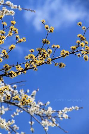 Yoshino Baigo Ume Blossom Matsuri: stunning colour flowers under the crystal blue sky