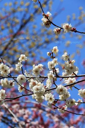 Yoshino Baigo Ume Blossom Matsuri: colourful plum blossoms