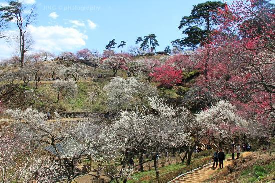Yoshino Baigo Ume Blossom Matsuri