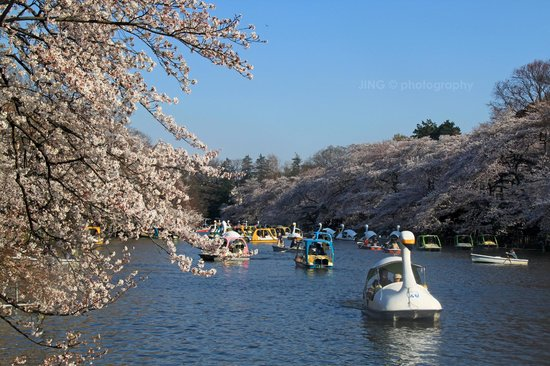 Musashino, ญี่ปุ่น: The lake in the park was surrounded by drooping sakura trees