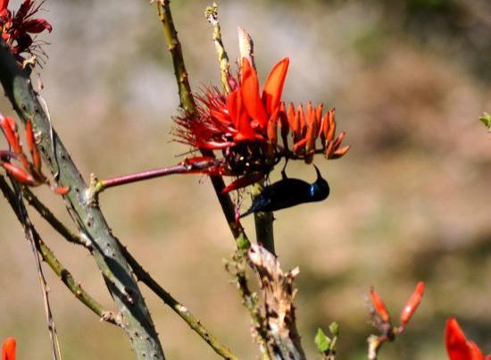 Wild Brook Retreat: Sunbird purple Male - in wild brook