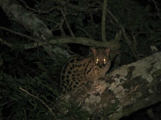 Mpila Camp: Civet waiting in the nearby trea - hoping to make a dash for our meat