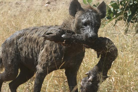 Kurhula Wildlife Lodge: Hyena met buffelpoot in het Krugerpark.
