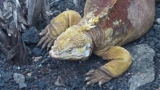 Galapagos Unbound - ROW Day Tours and Adventures: Land iguanas at the Darwin center on Santa Cruz