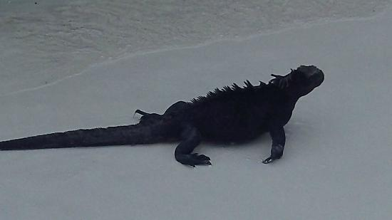 Galapagos Unbound: Marine iguanas