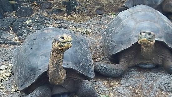 Row Adventures: Tortoise at Darwin Center on Santa Cruz