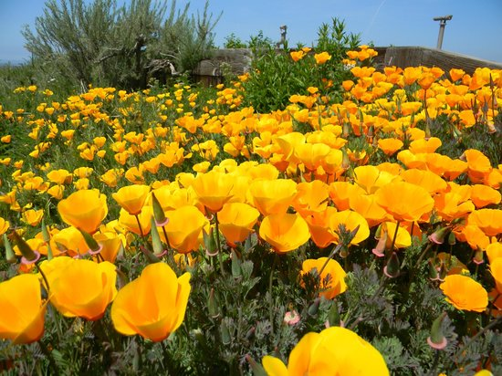 Moss Landing, Californië: poppies at the slough