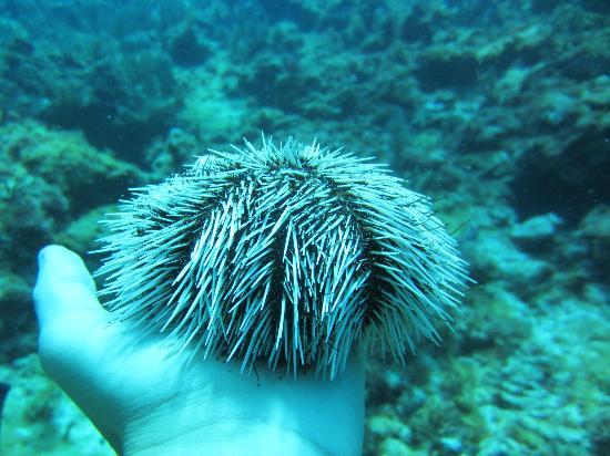 Squalo Adventures PADI Dive Resort #22312 : oursin tout doux :)