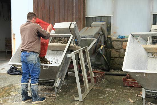 La Ferme Marine: washing beach oysters