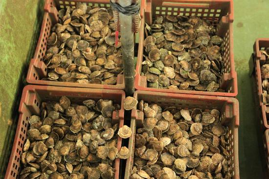 La Ferme Marine: sorting oysters