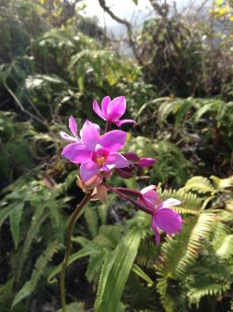 Wild Orchid on the Waihe'e Ridge Trail