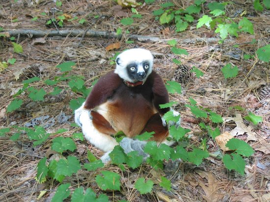 Durham, Carolina do Norte: Sifaka during the free range tour