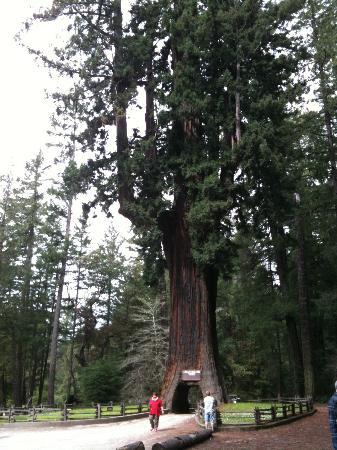 Redwood National Park: Drive thru tree just south of the Avenue of the giants