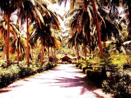 Am Samui Resort : Massive coconut palm trees are all over the resort