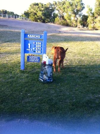 ‪توباك جولف ريزورت آند سبا: calf roaming the golf grounds‬