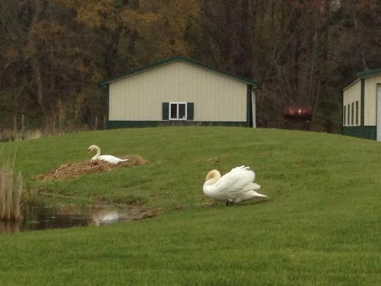 Quail's Covey Bed & Breakfast: Swans on the pond in front of the house