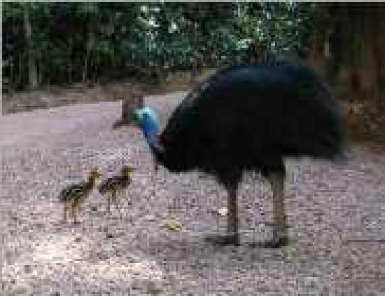 Licuala Lodge: Male cassowary and chicks