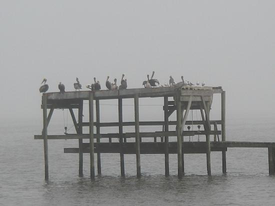Sportsman's Lodge Motel & Marina: Pelicans roost just offshore